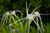276 Spider Lily.jpg