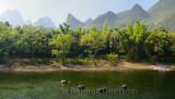 Grazing Water Buffalo in Li River Guangxi province China with karst limestone peaks