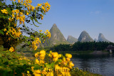 Chinese Senna yellow flowers and seed pods on the Li river with karst peaks at Yangshuo China