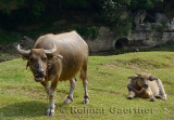 Female Asian water buffalo and calf grazing on grass at Fuli near Yangshuo China