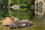 Close up of Asian water buffalo calf caressing mother with eyes closed in a pond at Fuli near Yangshuo China