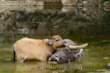 Close up of Asian water buffalo calf caressing mother in a pond of the Li river at Fuli near Yangshuo China