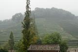 Tea bushes on Fenghuang Hill at Dragon Well Longjing tea plantation China