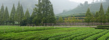 Green rows of tea bushes at Mei Jia Wu tea plantation in the Dragon Well area of Hangzhou China