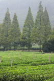 Green rows of tea bushes and trees at Mei Jia Wu tea plantation in the Dragon Well area of Hangzhou China