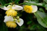Close up of wet tea bush flowers in Long Jing area of Hangzhou China
