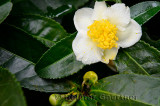 Close up of wet tea bush flower and buds in Long Jing area of Hangzhou China