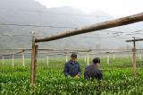 Female workers picking tea leaves at the West Lake Xi Hu plantation in Hangzhou China
