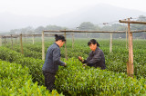 Female workers picking tea leaves at the West Lake plantation in Hangzhou China