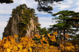 Pine trees and yellow Fall leaves at Stalagmite Peak on Huangshan Mountain China
