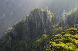 Pine trees at daybreak at Camel Back Peaks from Refreshing Terrace North Sea Huangshan Mountain China