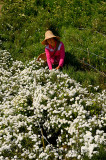 Chinese woman in a field picking white Huangshan Mountain Tribute Chrysanthemum flowers for tea in China