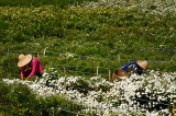 Chinese women picking Huangshan Mountain Tribute Chrysanthemum flowers for tea in a field in China