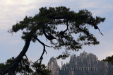 Pine tree over The Eighteen Arhats Worshipping at South Sea Huangshan Mountain China