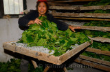 Chinese woman stacking wet mulberry leaves in trays of silk worms in Hongcun China