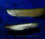 Two Silver Arowana freshwater fish from the Amazon river in an aquarium