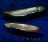 Two Silver Arowana freshwater bonytongue fish from the Amazon river in an aquarium