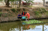 Greenhouse workers at Pudong canal washing lettuce beside Shanghai Lingkong Garden China