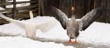 147 Flapping Geese.jpg