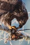 Eagles & Salmon