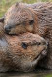 Legacy of Beavers