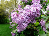 Lilacs ~ April 26th