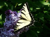 Swallowtail ~ April 29th