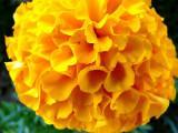 marigold ~ June 24th