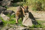 Blijdorp tigers (apr11)