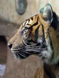 Tiger (apr11)