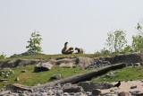 Polar bears Vicks & mum (apr11)