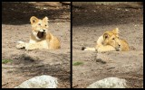 young lion (jun12)