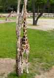 giraffe (jun12)
