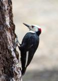 Chap. 8-25, White-headed Woodpecker-1