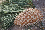 Chap. 8-5, Coulter Pine Cone