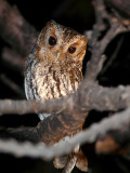 Chap. 8-26, Flamulated Owl by Peter Gaede