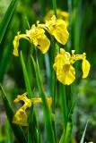 les iris jaunes