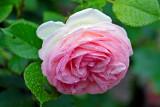 une rose pour la fête des mamans.