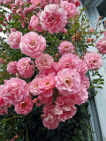 les roses à Veules-les Roses