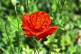 wrinkled petals