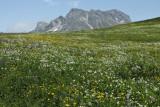 Blooming Alpine Meadow