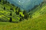 mountain arnica flowers