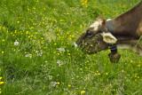 cows graze on grass flowers,