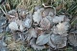 les feuilles gelées.