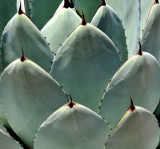 Agave sections in military formation!