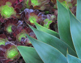 Lovely agave leaves with succulents in the bacground