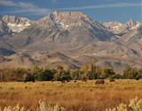 Cattle grazing in view of Eastern Sierras
