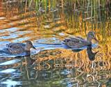 Ducks creating unusual reflections!