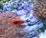A clown fish in the anemone