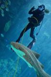 Diver and Zebra shark